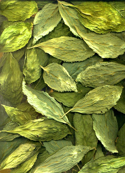 Sage Wisdom Botanicals - The premier source for Salvia divinorum ...